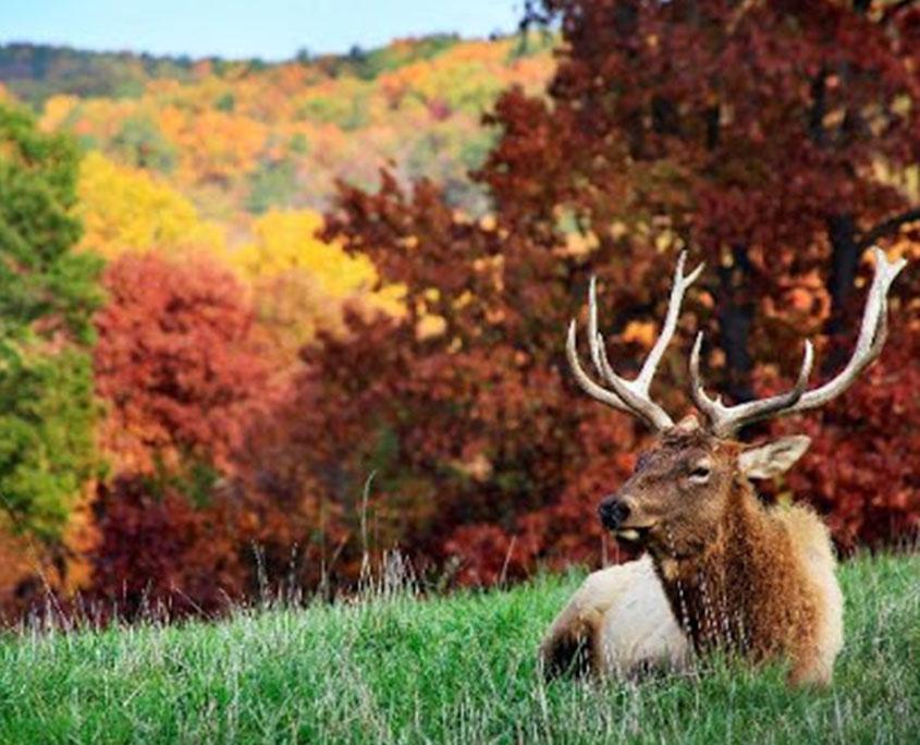 Dogwood Canyon Nature Park Elk